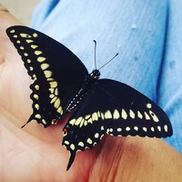 I got a wonderful surprise this morning! Welcome #butterfly 4 to the world 🌱🦋❤ His wings are not hatd enough yet so  waiting to release him later today. #blackswallowtail #butterflies #inspiredbynature #naturelover #inthegarden #reborn #metamorphosis #entomology #buglove #buglife #insects #bugsarecool #wings #beautiful