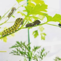 Baby #swallowtail #butterfly #caterpillars in different stages.  #jbjjewelrybyjamie #buglover #buglife #entomology #insect #blackswallowtail #bugsofinstagram #bugsarecool