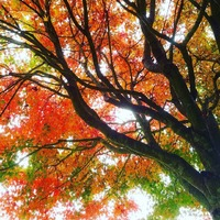 Under the #maple #tree